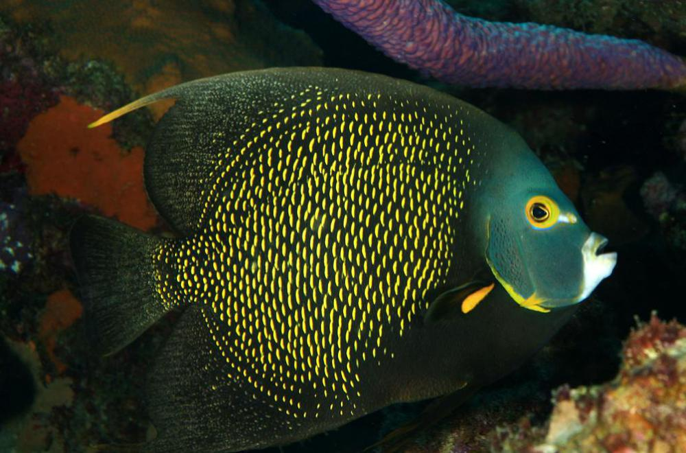 The coral beauty angelfish makes an excellent aquarium fish.