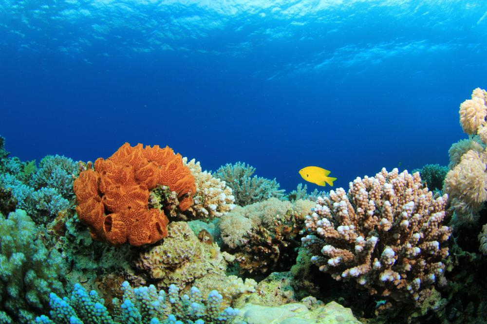 Coral reefs, like this one, are found around the Andaman Islands.
