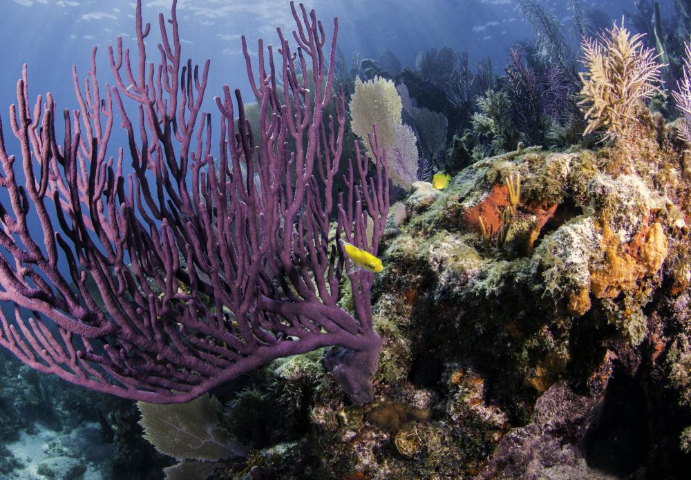 Snorkelers in the Caribbean may see coral and other reef plants.