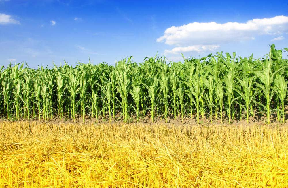 Recombinant DNA technology could be used to help crops resist extreme weather conditions.