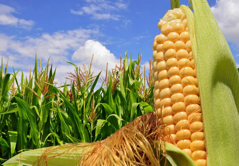 Maize Wallpaper: What Is Corn? (with Pictures