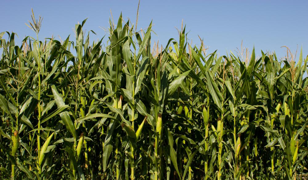 The USDA says that corn ethanol produces 34 percent more energy than is used to create it.