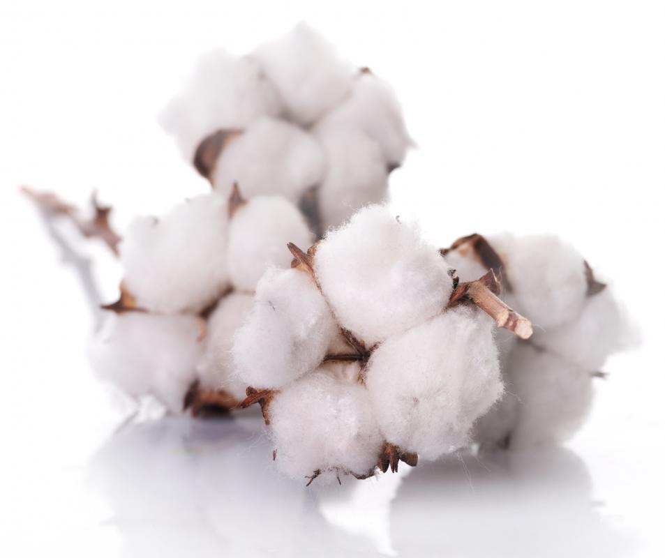 Cotton bolls on a branch.