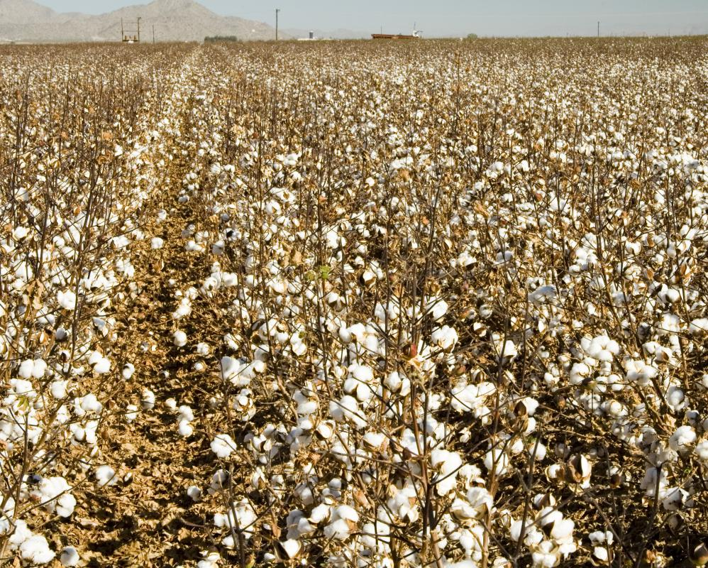 A field of cotton, which is sometimes used to make handmade paper.