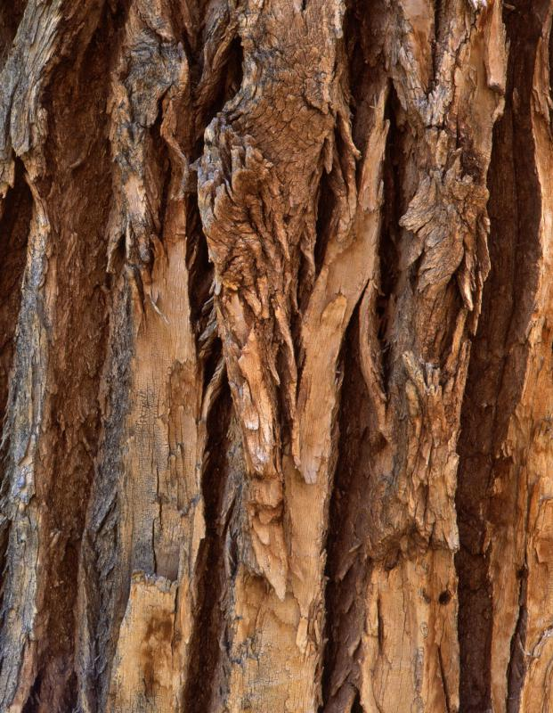 A cottonwood's bark is gray and  is usually deeply ridged and grooved.