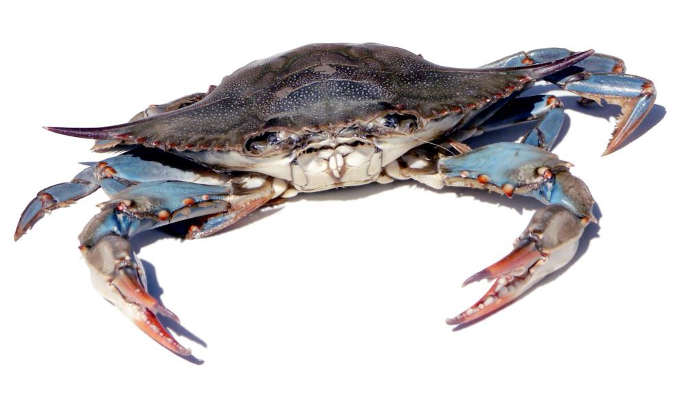 Blue crabs have blue markings on their forelimbs.