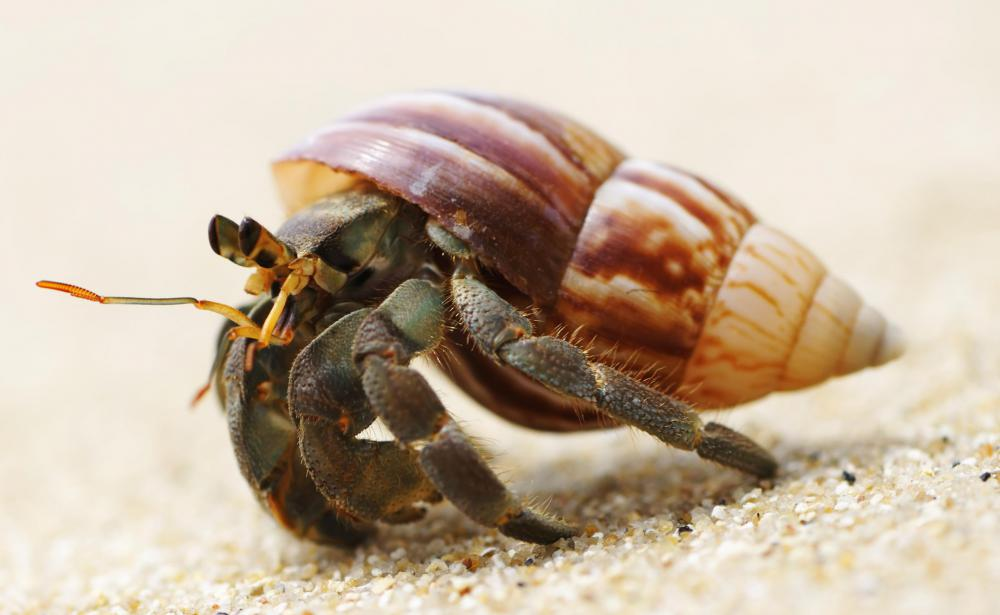 Hermit crabs are often to clean algae off of aquariums.