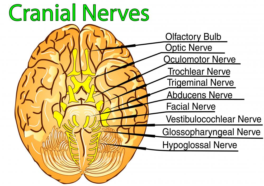 Twelve cranial nerves sit in the cranial cavity.
