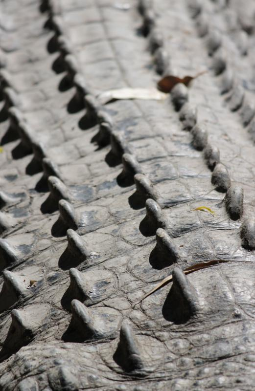 Scutes are the bony ridges that make crocodile skin so tough.