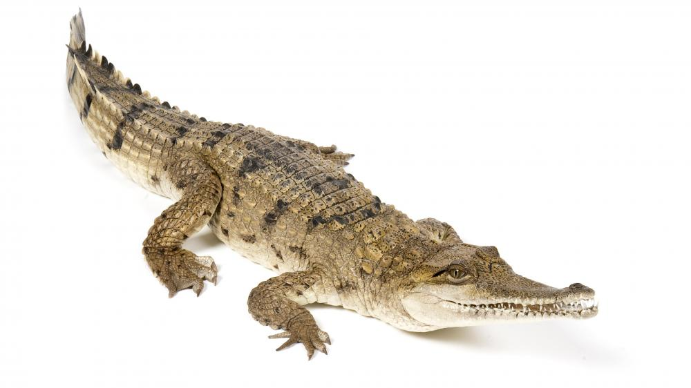 A crocodile, which is related to an alligator.