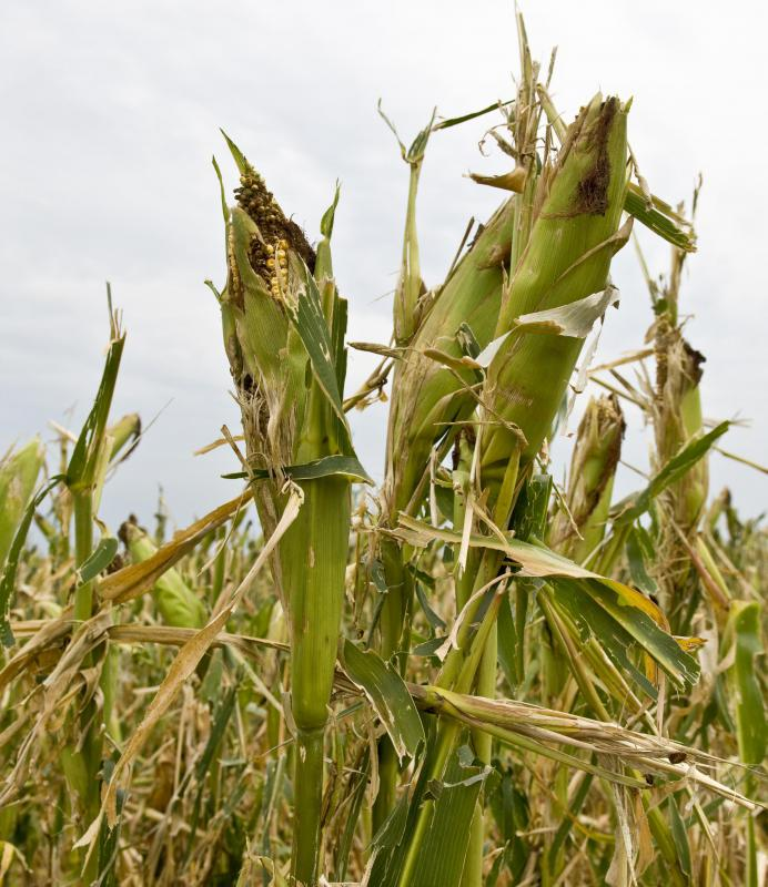 Stalk borers, rootworms, and armyworms are all common corn pests.