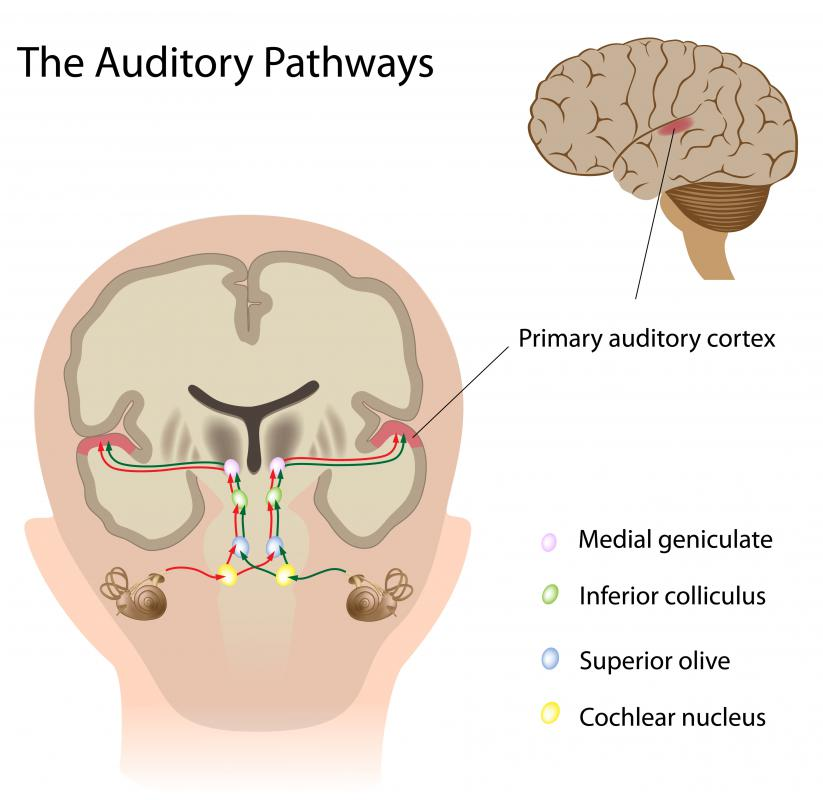 Damage to the auditory cortex may cause hearing impairment.