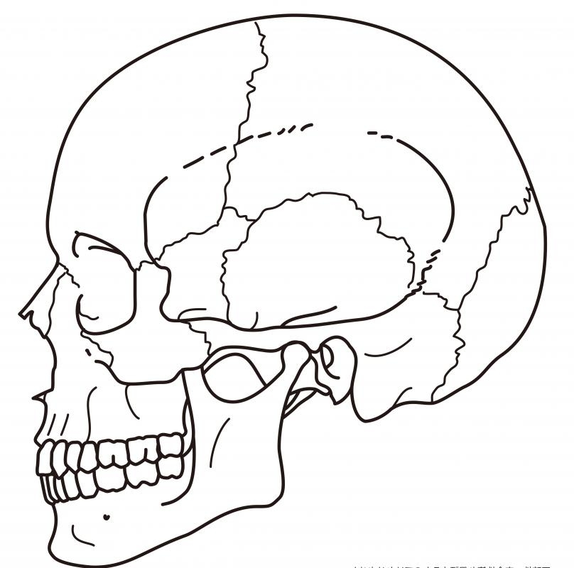 The cheekbone is a major part of the skull's anatomy.