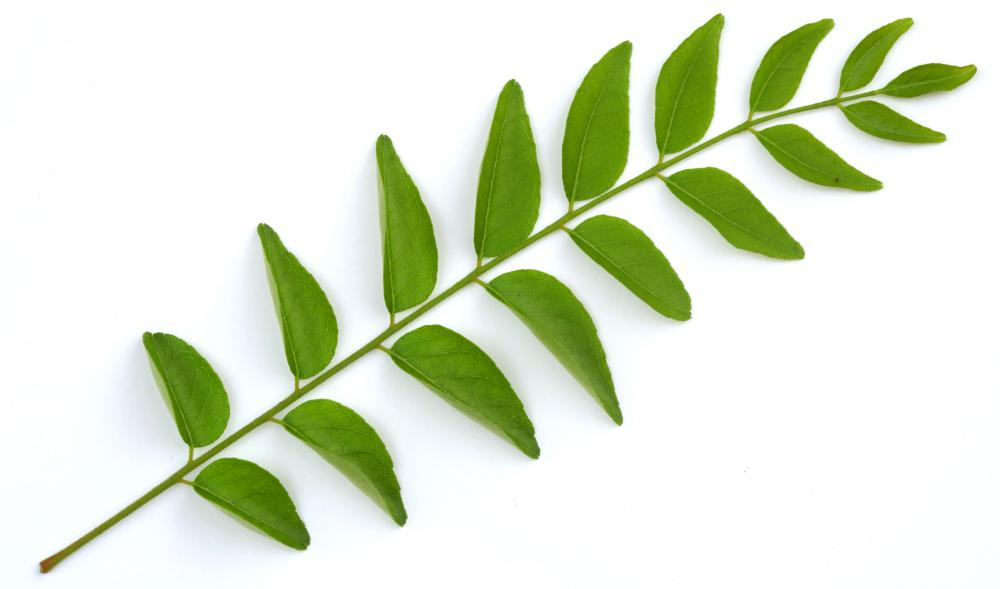 curry leaf The curry tree (murraya koenigii) is a tropical to sub-tropical tree in the family rutaceae (the rue family, which includes rue, citrus, and satinwood), which is.