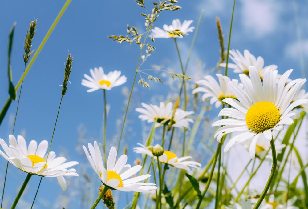 Daisies are typically associated with flower power.