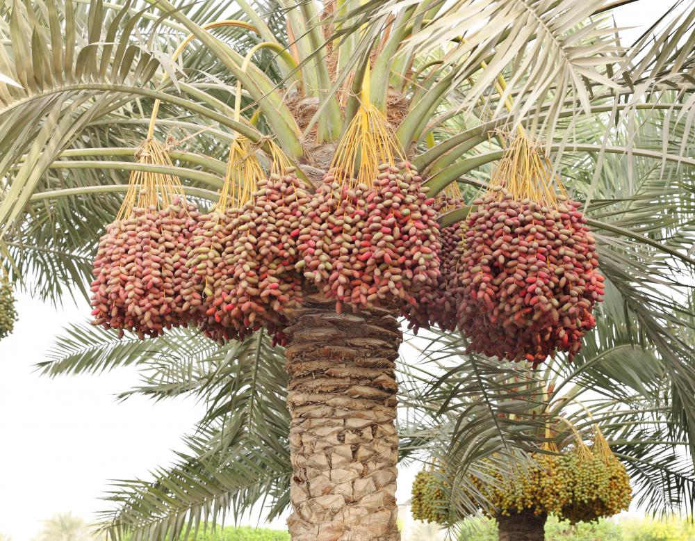 What is a Date Palm? with pictures
