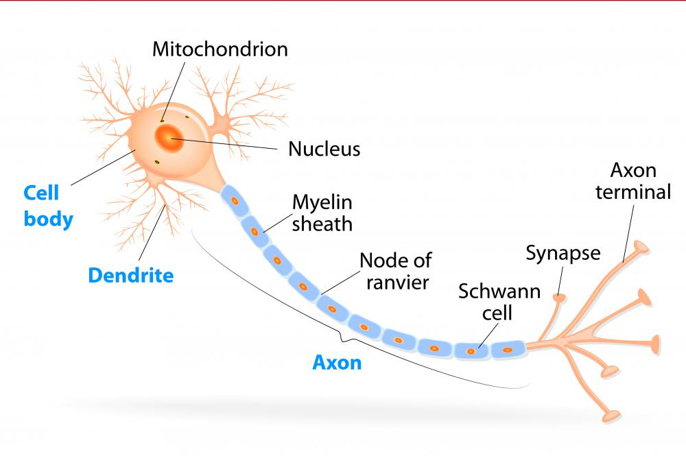 Myelin insulates a section of the neuron called the axon.