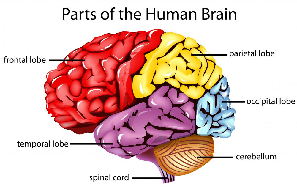 The frontal bone protects the frontal lobe of the brain.