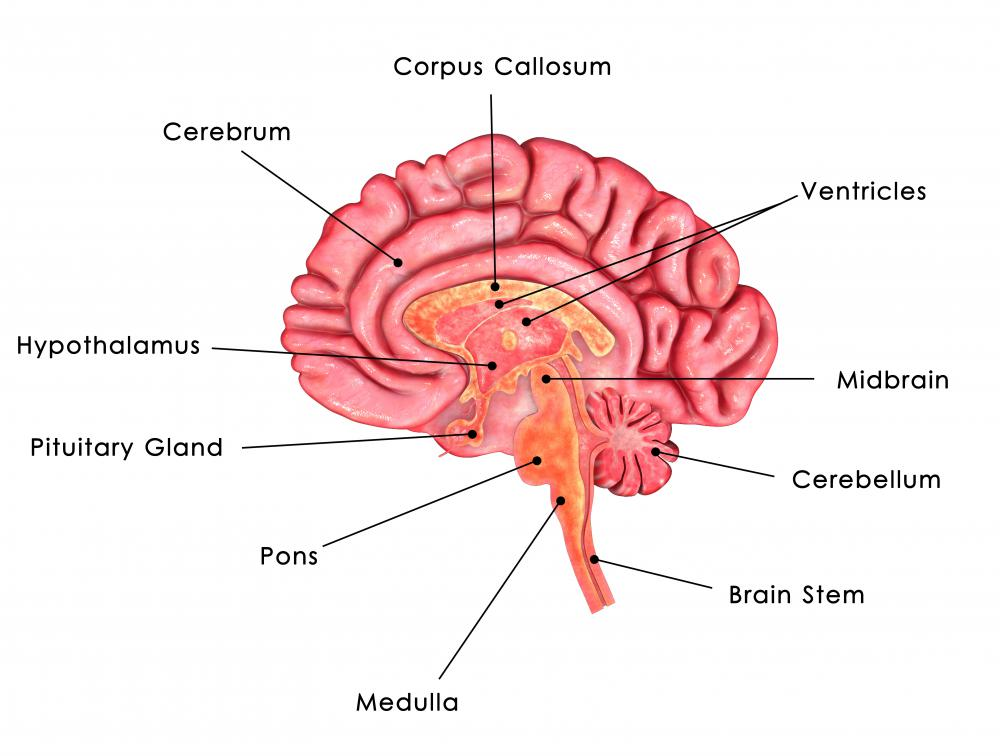 Adrenocorticotropic hormone is produced by the pituitary gland, a gland at the base of the brain.
