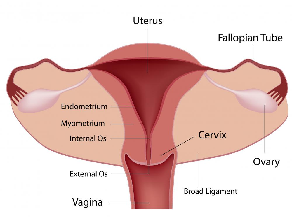 A diagram of the female reproductive system, including the fallopian tubes.