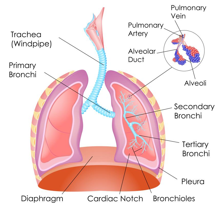 What Is The Hilum Of The Lung With Pictures