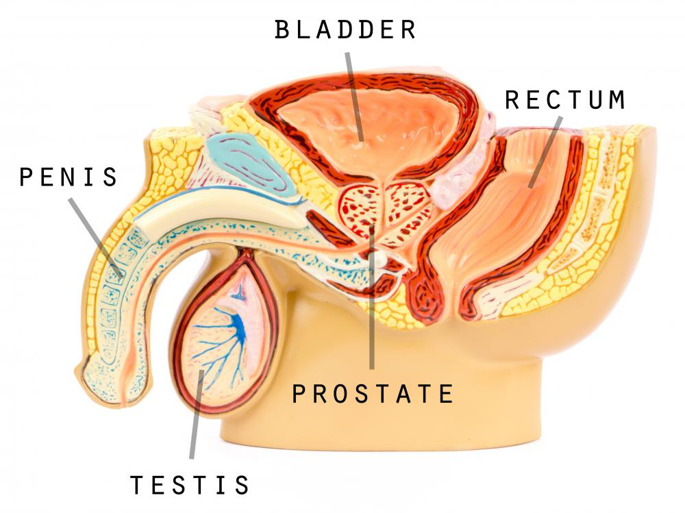 In males, the testes are the endocrine glands and are responsible for the production of hormones, as well as sperm.