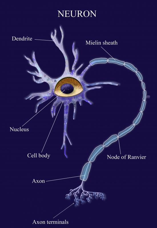 Dendrites bring information into a neuron, while axons act to channel information away from it.