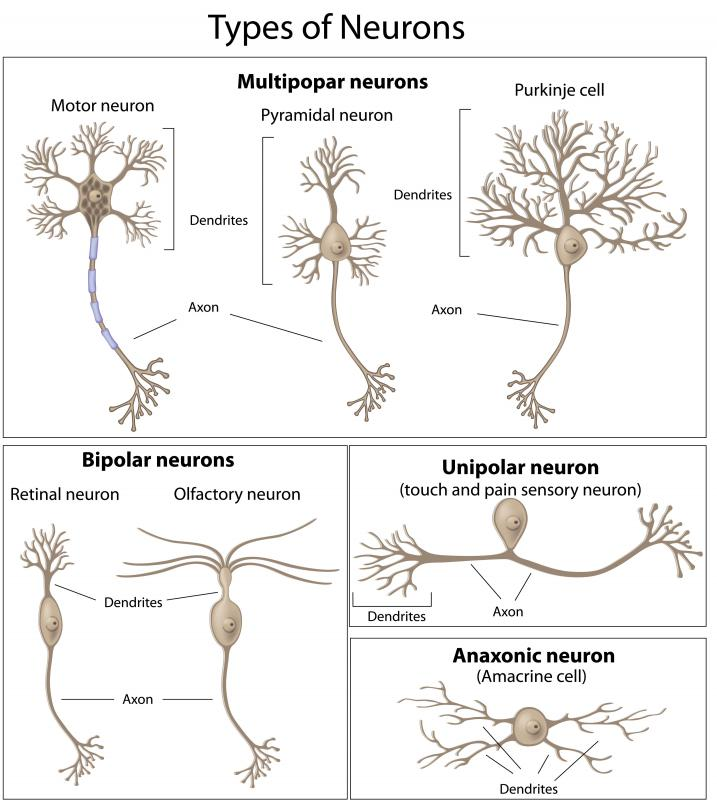 A diagram of different types of neurons, including the axons.