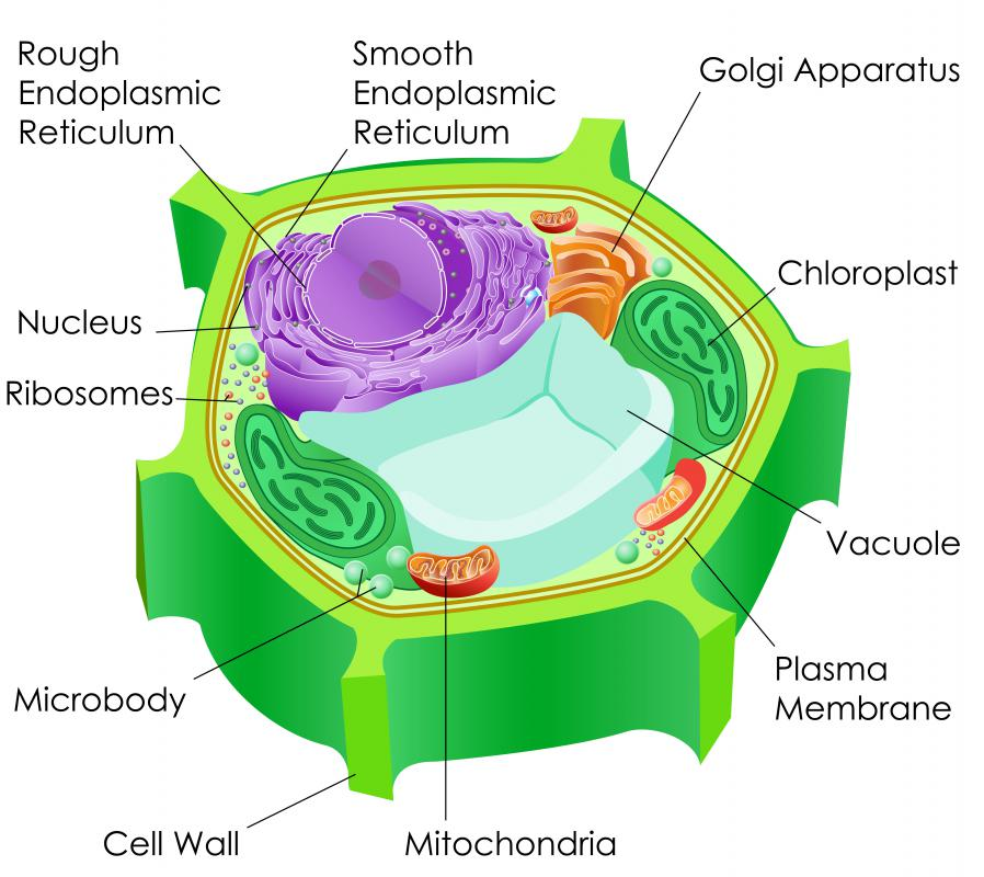 Plant cells are larger than animals cells are are surrounded by a rigid cell wall.