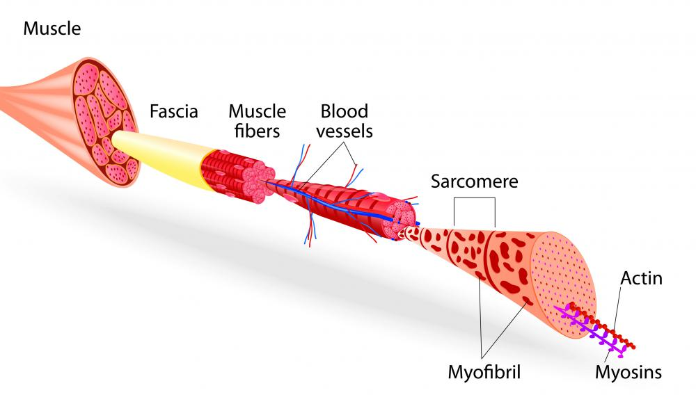 what is the structure of skeletal muscles? (with pictures), Human Body