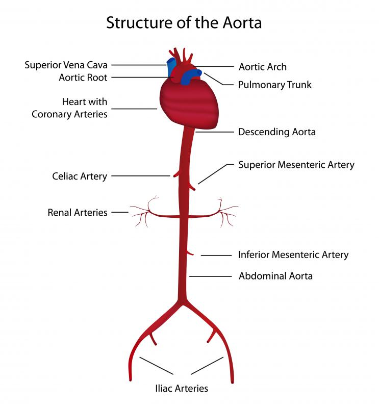 A diagram of the aorta. Blunt chest trauma can cause damage to the aorta.