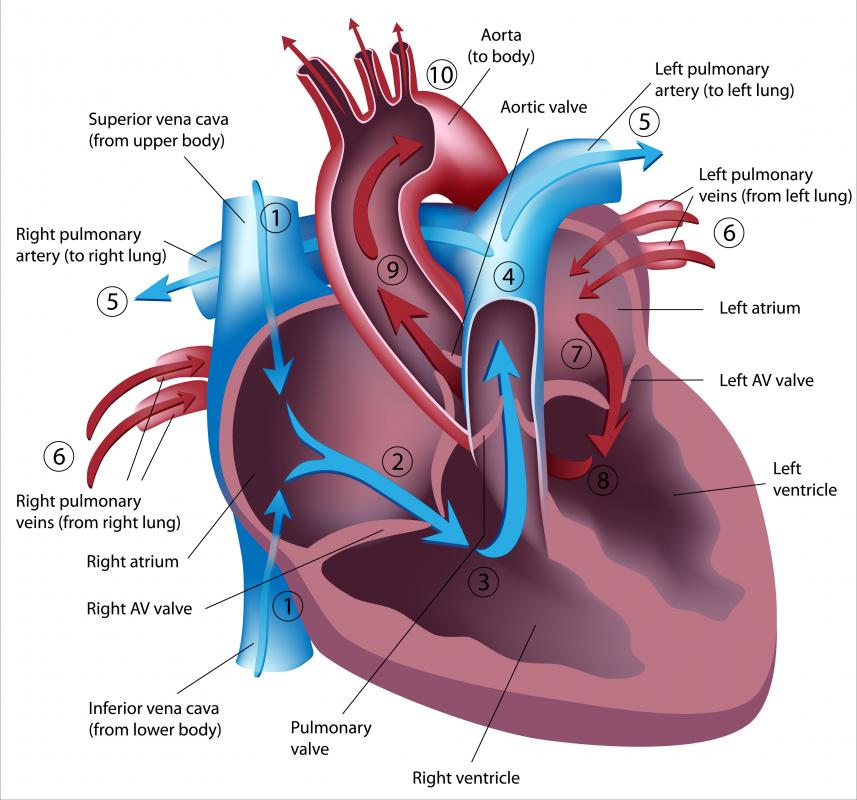 What is Double Circulation  Labeled Heart Diagram With Functions