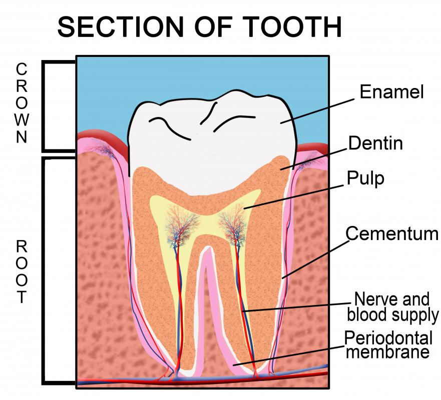 The parts of a tooth.