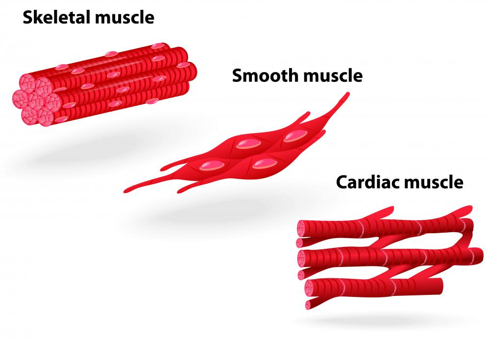 The body has three types of muscles: smooth, skeletal and cardiac.