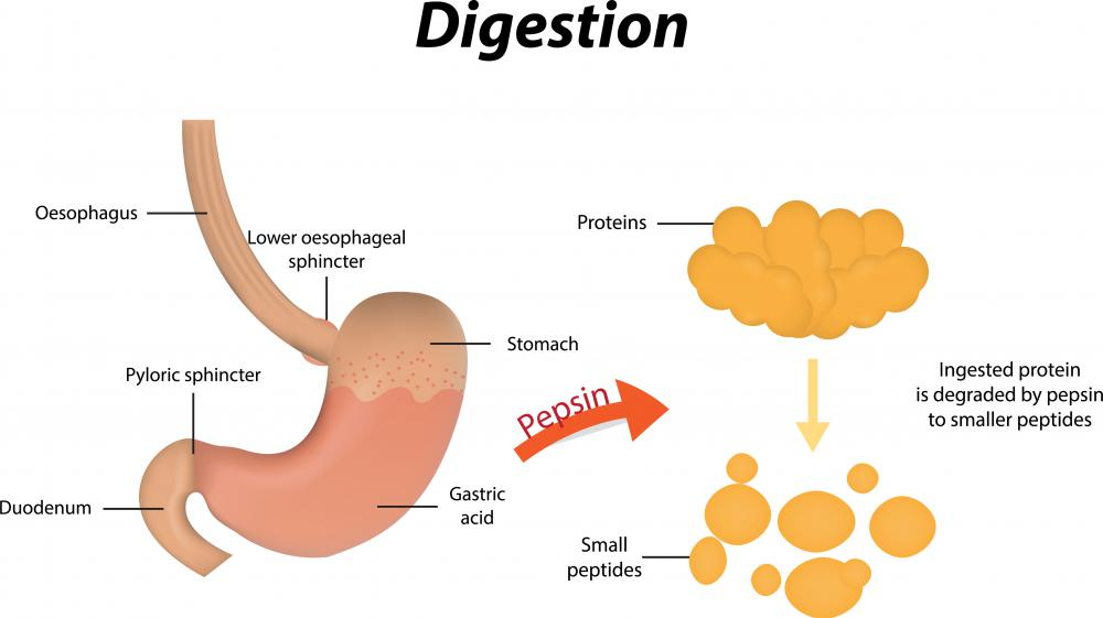 The stomach contains the digestive protease pepsin.
