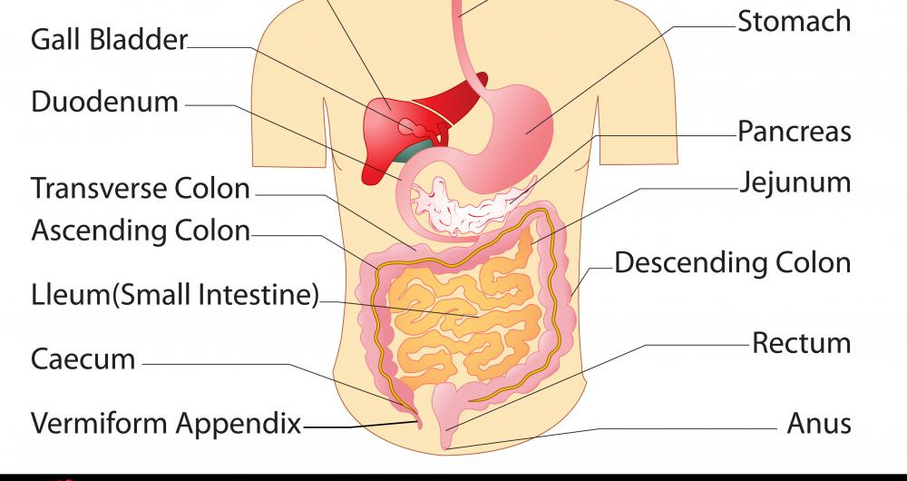 The digestive system consists of the stomach, pancreas and jejunum, among other organs.