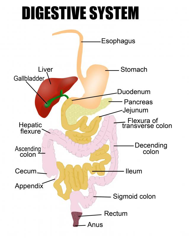 A diagram of the digestive system, including the stomach.