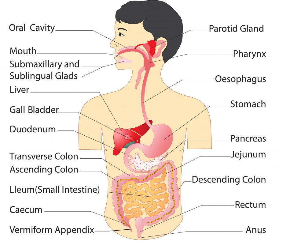 Enkephalin receptors are located in diverse places within the digestive system -- most notably, the pancreas.