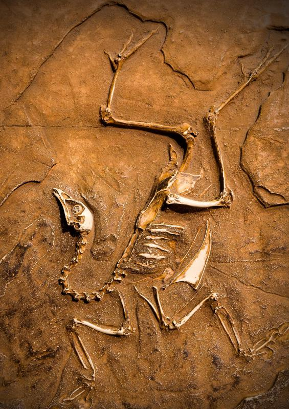 Fossils show that birds are descended from dinosaurs.