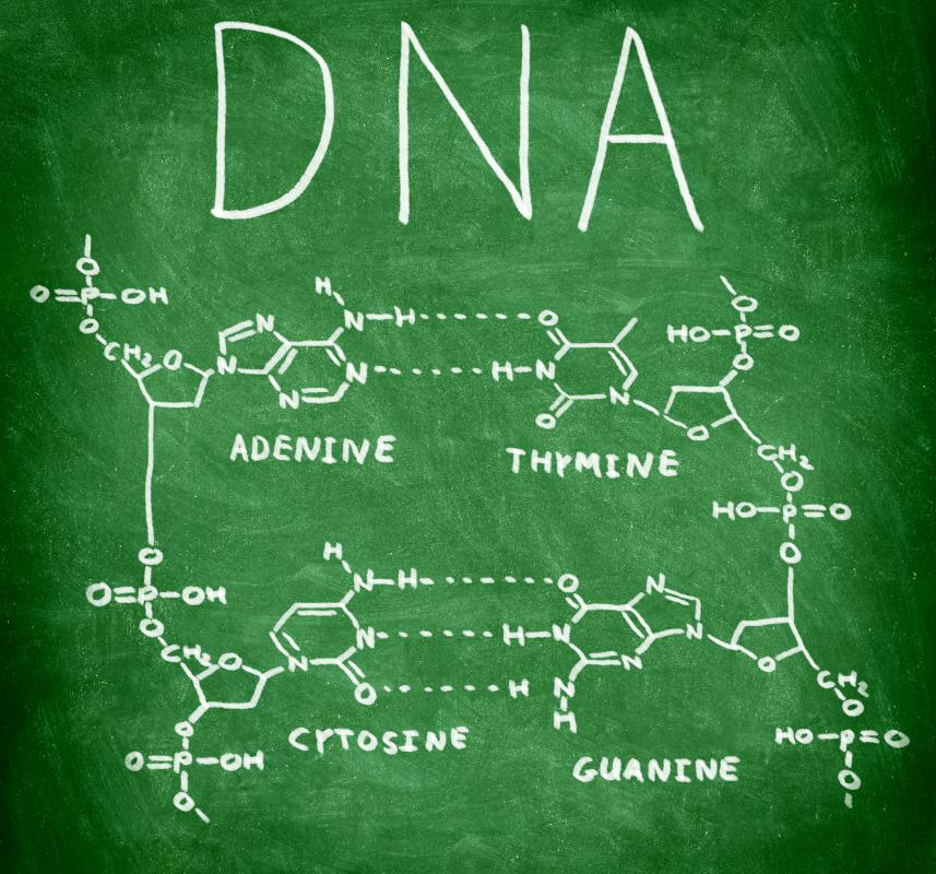 The backbone of DNA supports adenine, thymine, cytosine, and guanine.