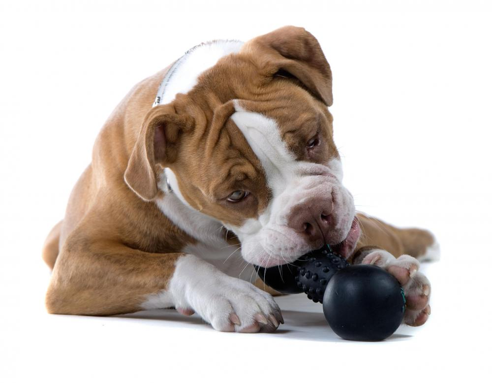 Tossing a chew toy around can help a dog lose weight.