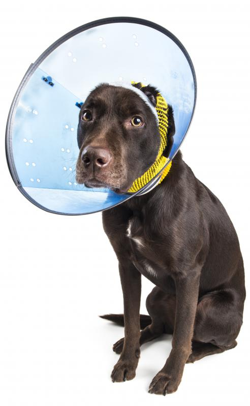 A dog might need an Elizabethan collar to protect a stye.