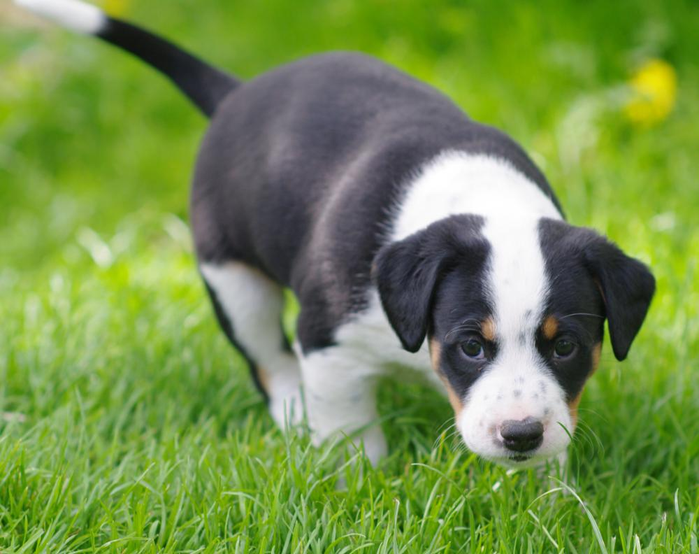 Acidophilus can be beneficial for puppies as well as adult dogs.