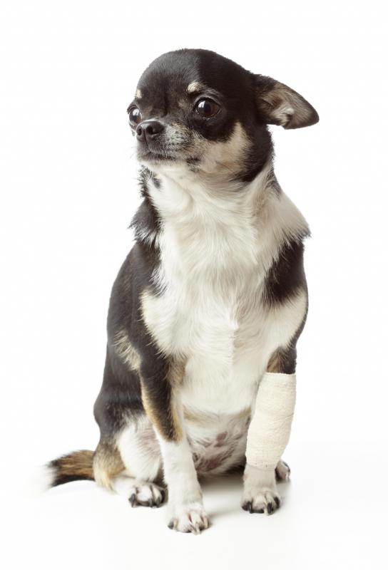Puncture wounds that heal incorrectly in dogs can cause abscess and should be treated by a veterinarian.