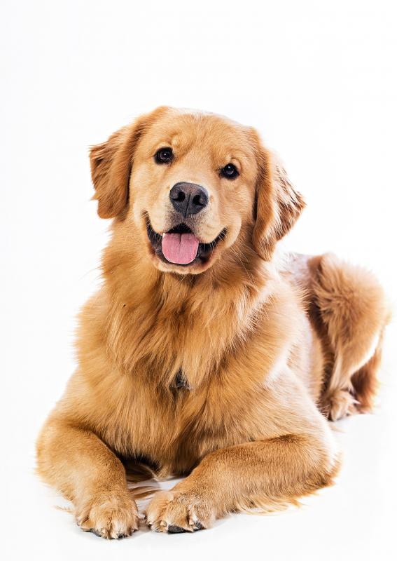 Hypothyroidism commonly affects golden retrievers.