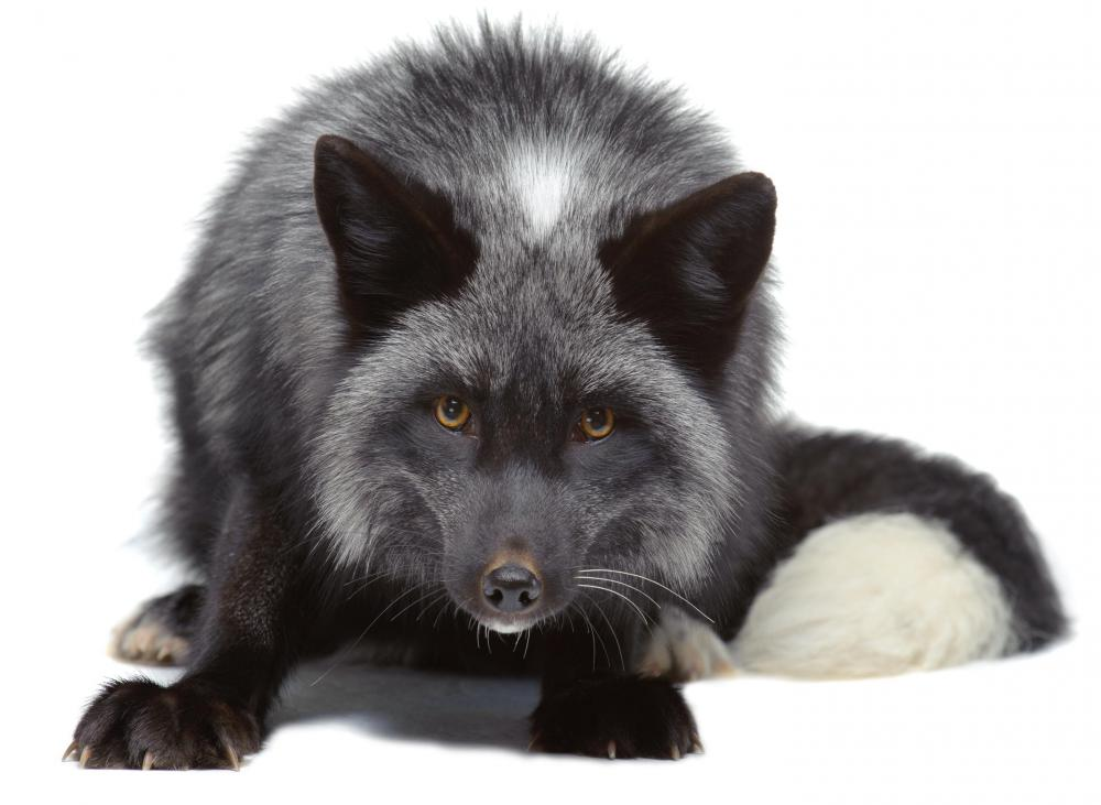 A silver fox, such as the ones used in the Soviet Union artificial selection experiments.