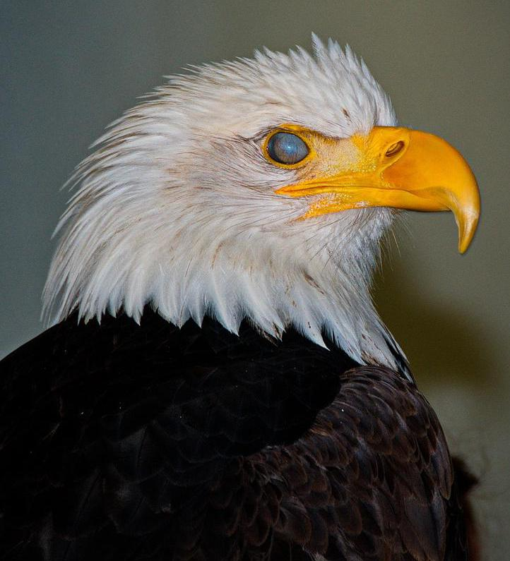 The bald eagle is one of only two eagle species found in North America.