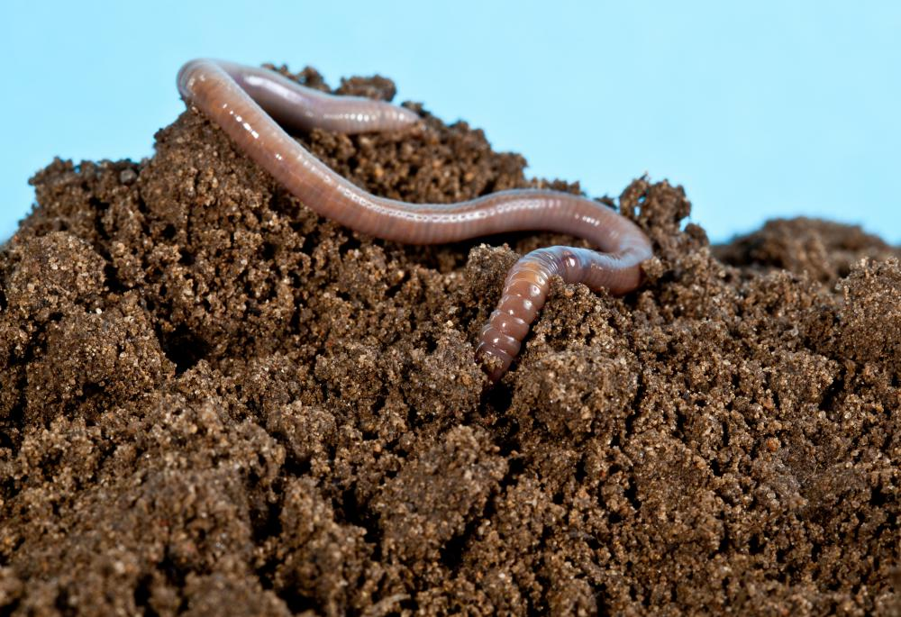 Mulched leaves provide food for earthworms.