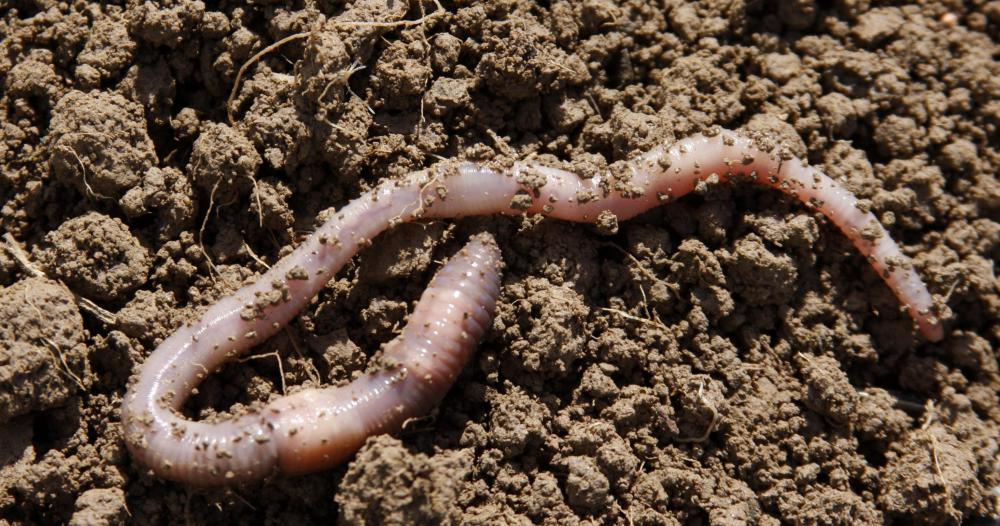 Coffee grounds compost can be used to feed earthworms, which help fertilize the soil in a garden.