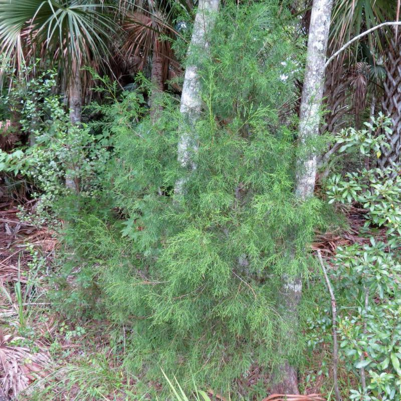 The Eastern Red Cedar is a form of juniper.